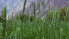 Inclinaison d'appareil-photo des montagnes de indication vertes de champ de blé de Passu Hunza banque de vidéos