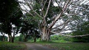 Inclinaison  Grands arbres avec la branche et la feuille en parc national banque de vidéos