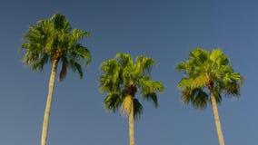 Inclinaison lente de jour de calme de ciel de ble de palmiers vers le bas clips vidéos