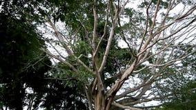 Inclinaison vers le bas Grands arbres avec la branche et la feuille en parc national banque de vidéos