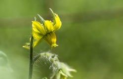 Inclinando-se a flor do tomate Fotografia de Stock Royalty Free