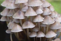 Inclinata di Mycena dei funghi su un ceppo Fotografie Stock