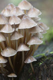Inclinata di Mycena dei funghi su un ceppo Immagini Stock