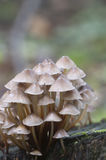 Inclinata di Mycena dei funghi su un ceppo Fotografia Stock Libera da Diritti