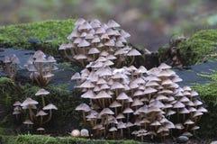 Inclinata di Mycena dei funghi su un ceppo Fotografia Stock