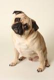 Inclinazione della testa del Pug Fotografie Stock