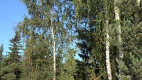 Incline para baixo do tempo verde bonito do outono da floresta da árvore de vidoeiro 4K video estoque