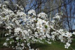 Inclined branch of blossoming Prunus cerasifera in spring. Inclined branch of blossoming Prunus cerasifera tree in spring stock photo