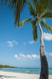 The inclined palm tree on a Caribbean beach, Dominican Republic. Palm trees on a Caribbean beach against a blue sky, Dominican Republic Royalty Free Stock Image