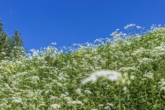 Inclined slope with green grass and blue sky. Inclined slope with green grass, white flowers and blue sky Stock Photos