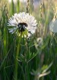 Incluso las malas hierbas pueden ser hermosas - Dandilion imagen de archivo
