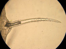 Incluso unicelular - microscopia óptica Fotos de archivo libres de regalías