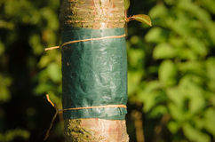 Incolli la banda legata intorno al tronco di un albero Fotografie Stock