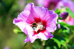 Incoming bee. A busy bee covered in pollen on a Hibiscus flower (Hibiscus syriacus Stock Photos