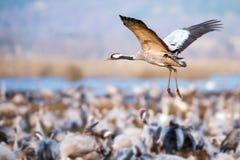 Incoming Common Crane at Hornborgarsjon Stock Photography