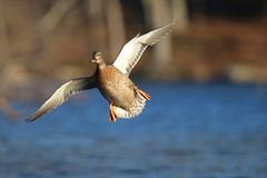 Incoming Mallard Duck In Flight Royalty Free Stock Photo