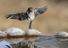 Incoming Sparrow. Small Chipping Sparrow (Spizella passerina), coming in for a drink stock photography