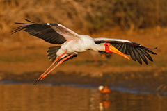 Incoming stork. Yellowbilled Stork (Mycteria ibis), coming in to land during the golden hour, South Africa Stock Photos