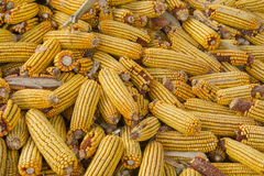 Incomplete corn stick. Wait for threshing, incomplete drying corn cob stock image
