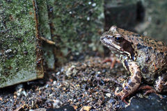 Inconspicuous motley spotted frog in the wild. Inconspicuous motley spotted frog sitting in the wild close to Royalty Free Stock Photos