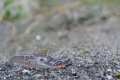 Inconspicuous slug on the asphalt. Tiger-tail creeps inconspicuously on the tarmac - closeup slug, nudibranch Royalty Free Stock Photo