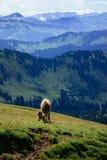 Incontri una mucca su un viaggio d'escursione sul Nagelfluhkette nelle alpi tedesche Fotografia Stock