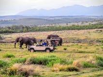 Incontro del gregge dell'elefante sul safari in Africa fotografia stock libera da diritti