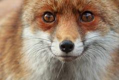 Fox. Incontro ravvicinato con una curiosissima volpe Stock Photos