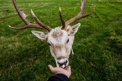 Incontro vicino con un cervo Fotografia Stock