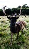 Incontro vicino con un cervo Immagini Stock