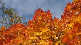 Incoroni l'acero in autunno nel cielo Foglie di acero gialle La L Fotografia Stock Libera da Diritti