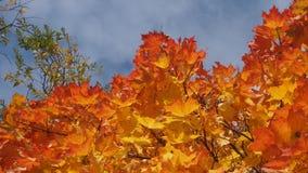 Incoroni l'acero in autunno nel cielo Foglie di acero gialle La L Fotografie Stock