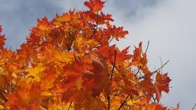 Incoroni l'acero in autunno nel cielo Foglie di acero gialle La L Fotografia Stock