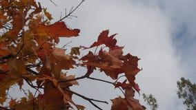 Incoroni l'acero in autunno nel cielo Foglie di acero gialle La L Immagine Stock Libera da Diritti
