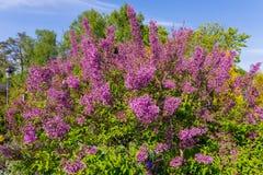 Increíblemente hermoso y con un olor de atracción de lilas contra el cielo azul imagen de archivo libre de regalías