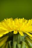 Increased dandelion flower. Biology illustration of increased dandelion flower stock photos