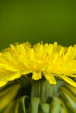 Increased dandelion flower Stock Photos