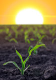 Increasing corn Royalty Free Stock Images