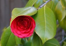Incredible beautiful red camellia - Camellia japonica, known as common camellia or Japanese camellia. Incredible beautiful red camellia - Camellia japonica royalty free stock image