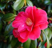 Incredible beautiful red camellia - Camellia japonica, known as common camellia or Japanese camellia. Camellia blossom stock photos