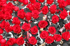 Incredible bunch of lots of red roses in tribute to women and to Stock Photo