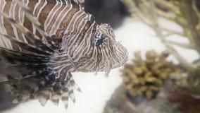 Lionfish closeup in 4K UHD. Incredible closeup shot of a lionfish. 4K UHD footage stock video
