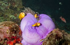 Incredible colors and underwater corals and fish in the Maldives Royalty Free Stock Images
