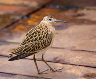 Incredible difficulties for migrants: weary bird. Tired during the flight Sandpiper ruff landed on the deck of the ship in the Barents sea Stock Photography