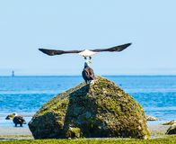 Incredible Eagle Spread Wings royalty free stock photo