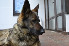Incredible emotions German Shepherd Royalty Free Stock Image