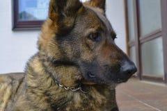 Incredible emotions German Shepherd Royalty Free Stock Photo