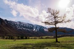 Incredible landscape of a tree standing on the background of the peaks of the Altai mountains and running clouds. Royalty Free Stock Photography