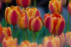 Incredible multi-colored orange, red, pink and purple tulip field or meadow royalty free stock photo
