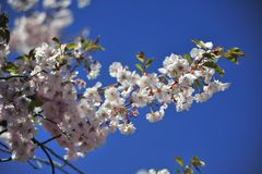 Sakura blooming spring bright and warm day in Stockholm stock photos